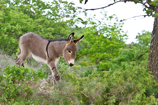 MAM 14 KH0209 01 © Kimball Stock Young Provence Donkey Walking Down Hillside France