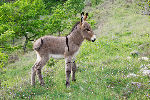 MAM 14 KH0210 01 © Kimball Stock Young Provence Donkey Standing In Meadow France