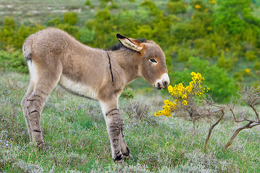 MAM 14 KH0211 01 © Kimball Stock Young Provence Donkey Eating Gorse In Meadow France