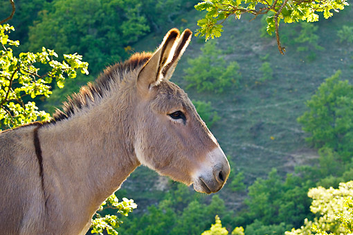 MAM 14 KH0214 01 © Kimball Stock Head Shot Of Provence Donkey Standing In Scrubland France
