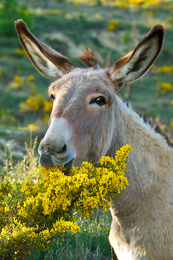 MAM 14 KH0215 01 © Kimball Stock Head Shot Of Provence Donkey Eating Gorse France