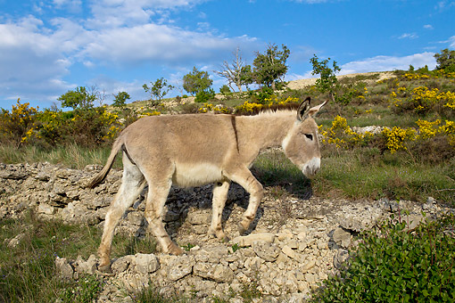 MAM 14 KH0216 01 © Kimball Stock Provence Donkey Walking Over Rocks In Scrubland France
