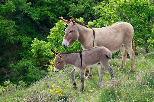 MAM 14 KH0220 01 © Kimball Stock Provence Donkey And Colt Walking Through Scrubland France