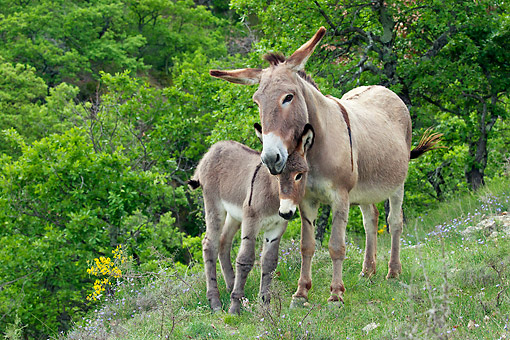 MAM 14 KH0221 01 © Kimball Stock Provence Donkey Nuzzling Colt In Scrubland France