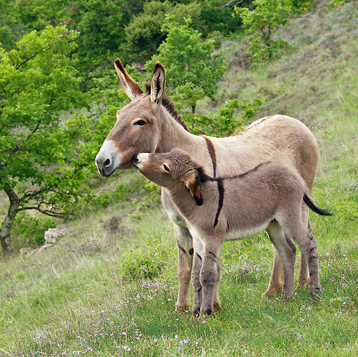 MAM 14 KH0223 01 © Kimball Stock Provence Donkey Colt Nuzzling Mother In Scrubland France