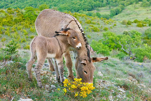 MAM 14 KH0224 01 © Kimball Stock Provence Donkey Colt Nuzzling Mother In Scrubland France