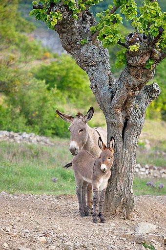 MAM 14 KH0225 01 © Kimball Stock Provence Donkey And Colt Standing Under Mulberry Tree France