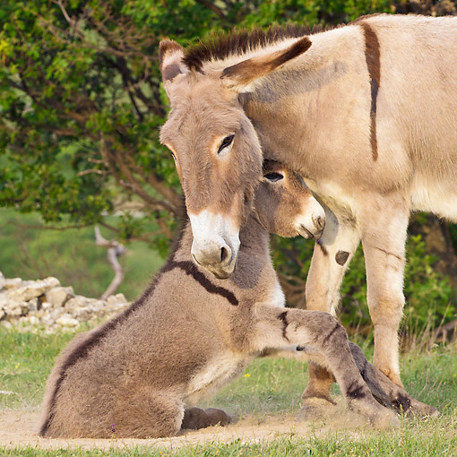 MAM 14 KH0228 01 © Kimball Stock Provence Donkey Mother Helping Colt Get Up From Sand Pit France