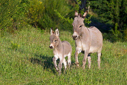 MAM 14 KH0234 01 © Kimball Stock Sardinian Donkey Mother And Foal Galloping Through Grass France