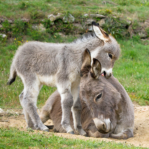 MAM 14 KH0235 01 © Kimball Stock Sardinian Donkey Foal Playing With Mother On Grass France