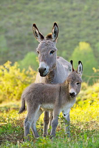 MAM 14 KH0236 01 © Kimball Stock Sardinian Donkey Mother And Foal Standing In Yellow Flowers At Dusk France