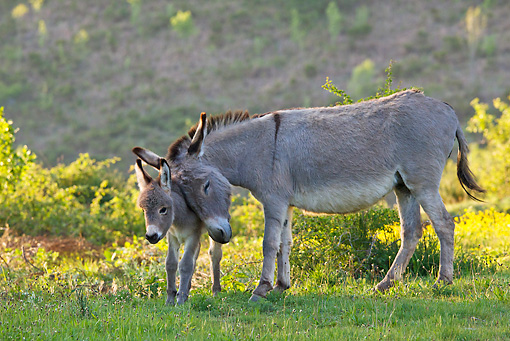 MAM 14 KH0237 01 © Kimball Stock Sardinian Donkey Mother Nuzzling Foal By Yellow Flowers At Dusk France