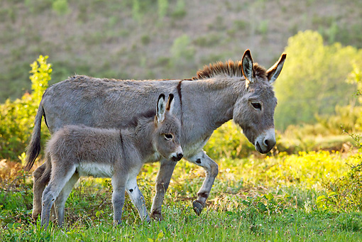 MAM 14 KH0238 01 © Kimball Stock Sardinian Donkey Mother Walking With Foal By Yellow Flowers France