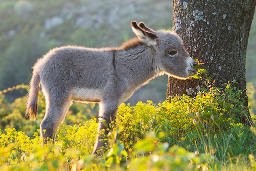 MAM 14 KH0239 01 © Kimball Stock Sardinian Donkey Foal Standing In Yellow Flowers France