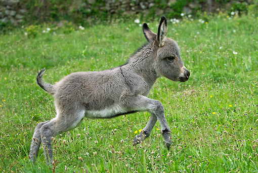 MAM 14 KH0240 01 © Kimball Stock Sardinian Donkey Foal Galloping Through Grass France