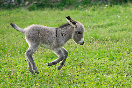 MAM 14 KH0241 01 © Kimball Stock Sardinian Donkey Foal Galloping Through Grass France
