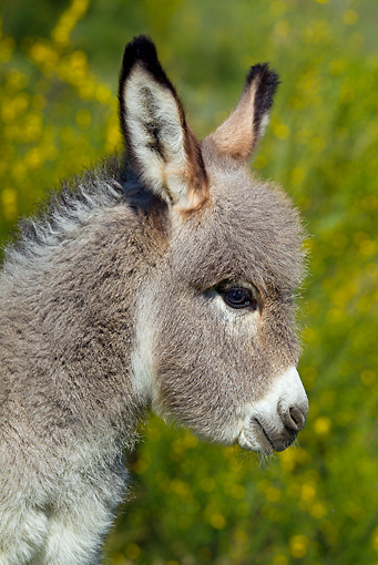 MAM 14 KH0242 01 © Kimball Stock Head Shot Of Sardinian Donkey Foal By Yellow Flowers France