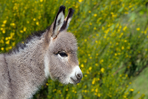 MAM 14 KH0243 01 © Kimball Stock Head Shot Of Sardinian Donkey Foal By Yellow Flowers France