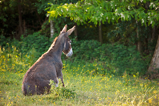 MAM 14 KH0245 01 © Kimball Stock Normandy Donkey Sitting In Meadow Of Buttercups Normandy