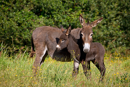 MAM 14 KH0248 01 © Kimball Stock Normandy Donkey Mother Standing With Colt In Meadow Normandy