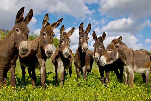 MAM 14 KH0251 01 © Kimball Stock Group Of Common Donkeys Standing In Meadow France