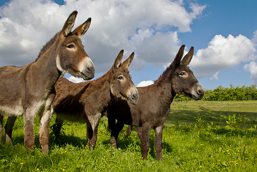 MAM 14 KH0252 01 © Kimball Stock Three Common Donkeys Standing In Meadow France
