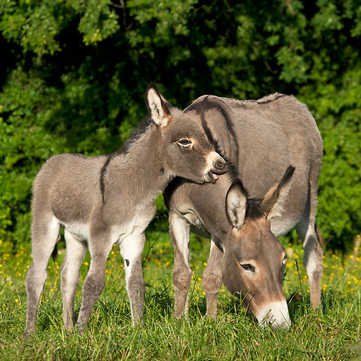 MAM 14 KH0256 01 © Kimball Stock Cotentin Donkey Mother And Foal Grazing In Meadow France