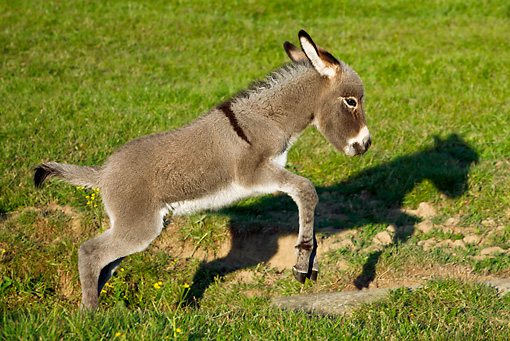 MAM 14 KH0262 01 © Kimball Stock Cotentin Donkey Foal Jumping Over Ravine In Meadow France