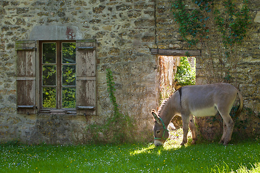 MAM 14 KH0265 01 © Kimball Stock Cotentin Donkey Grazing Near Old House France