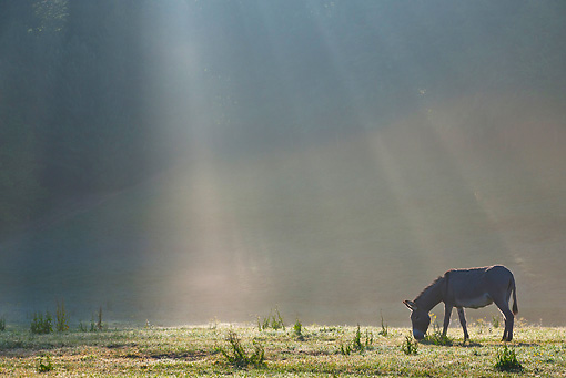 MAM 14 KH0266 01 © Kimball Stock Cotentin Donkey Grazing In Early Morning Mist France
