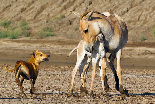 MAM 14 KH0274 01 © Kimball Stock Wild Ass Protecting Colt From Wild Dog Gujarat, India