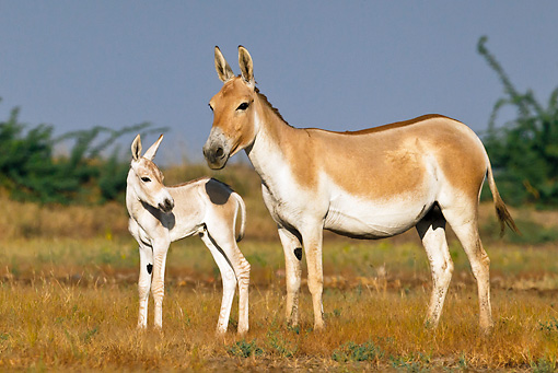 MAM 14 KH0277 01 © Kimball Stock Wild Ass And Colt Standing In Plains Gujarat, India