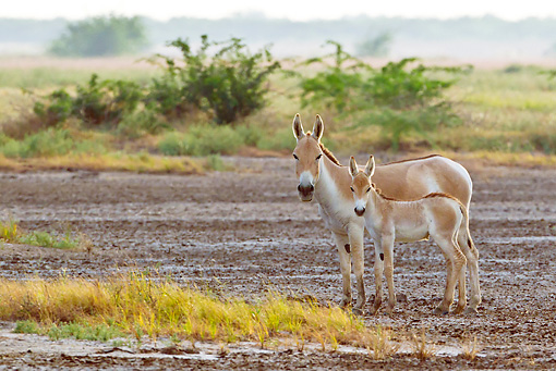 MAM 14 KH0278 01 © Kimball Stock Wild Ass And Colt Standing In Plains Gujarat, India