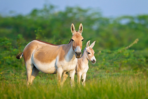 MAM 14 KH0279 01 © Kimball Stock Wild Ass And Colt Standing In Plains Gujarat, India