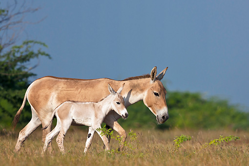 MAM 14 KH0280 01 © Kimball Stock Wild Ass And Colt Walking Through Plains Gujarat, India