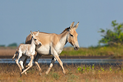 MAM 14 KH0281 01 © Kimball Stock Wild Ass And Colt Trotting Through Plains Gujarat, India