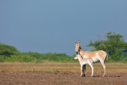 MAM 14 KH0282 01 © Kimball Stock Wild Ass And Colt Standing In Plains Gujarat, India