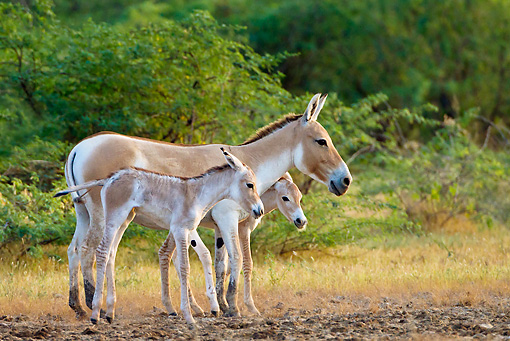MAM 14 KH0283 01 © Kimball Stock Wild Ass And Two Foals Standing In Plains Gujarat, India