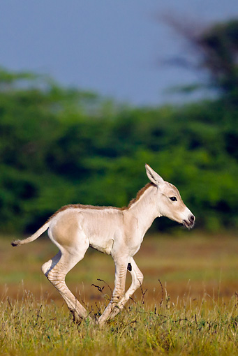 MAM 14 KH0284 01 © Kimball Stock Portrait Of Wild Ass Colt Galloping Through Plains Gujarat, India
