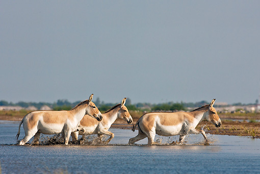 MAM 14 KH0286 01 © Kimball Stock Three Wild Ass Wading Through Salt Marsh Gujarat, India