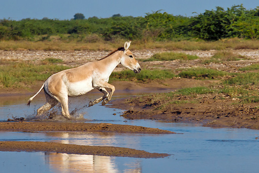 MAM 14 KH0287 01 © Kimball Stock Wild Ass Jumping Over Channel In Salt Marsh Gujarat, India