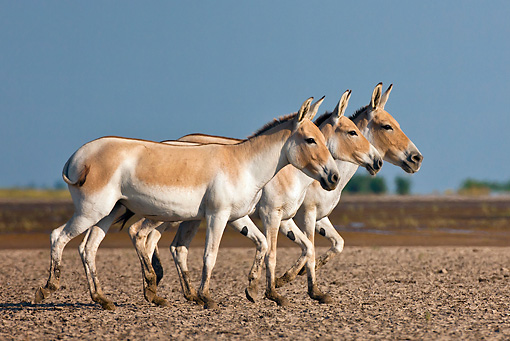 MAM 14 KH0288 01 © Kimball Stock Three Wild Ass Walking Through Plains Gujarat, India