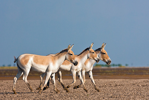 MAM 14 KH0289 01 © Kimball Stock Three Wild Ass Walking Through Plains Gujarat, India