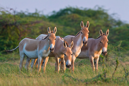 MAM 14 KH0291 01 © Kimball Stock Four Wild Ass Standing In Plains At Sunset Gujarat, India