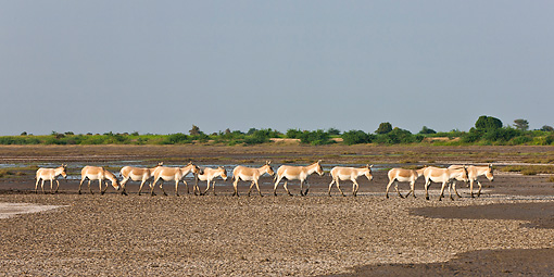MAM 14 KH0293 01 © Kimball Stock Group Of Wild Ass Walking Through Plains After Monsoon Gujarat, India