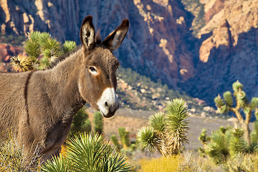 MAM 14 KH0298 01 © Kimball Stock Feral Donkey Standing Near Yucca Plant And Joshua Trees In Mojave Desert, Nevada