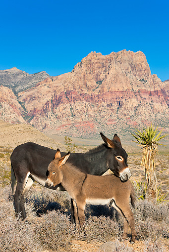 MAM 14 KH0304 01 © Kimball Stock Feral Donkey Mother And Colt Basking In Morning Sun At Mojave Desert, Nevada