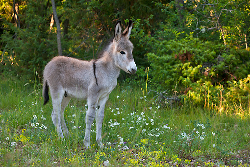MAM 14 KH0312 01 © Kimball Stock Common Donkey Foal Standing In Meadow France