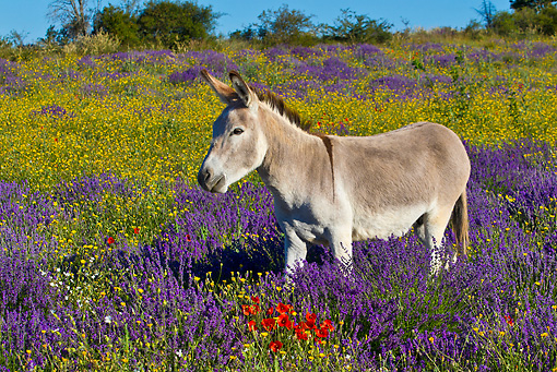 MAM 14 KH0313 01 © Kimball Stock Common Donkey Grazing In Meadow Of Lavender And Poppies France