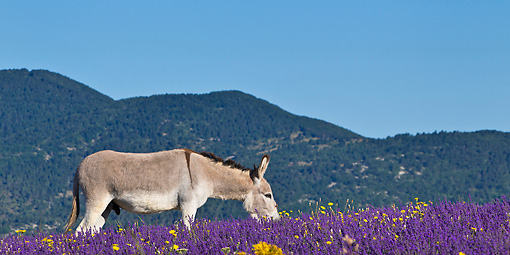 MAM 14 KH0314 01 © Kimball Stock Common Donkey Grazing In Meadow Of Lavender France